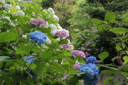 黒羽城址公園の紫陽花