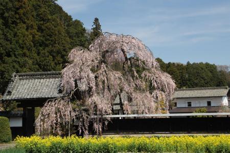 西方のしだれ桜