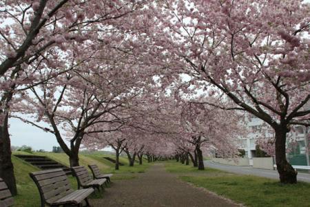 おやま思川桜まつり