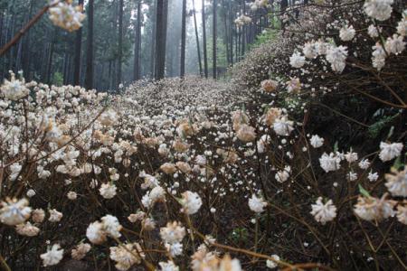 焼森山のミツマタ