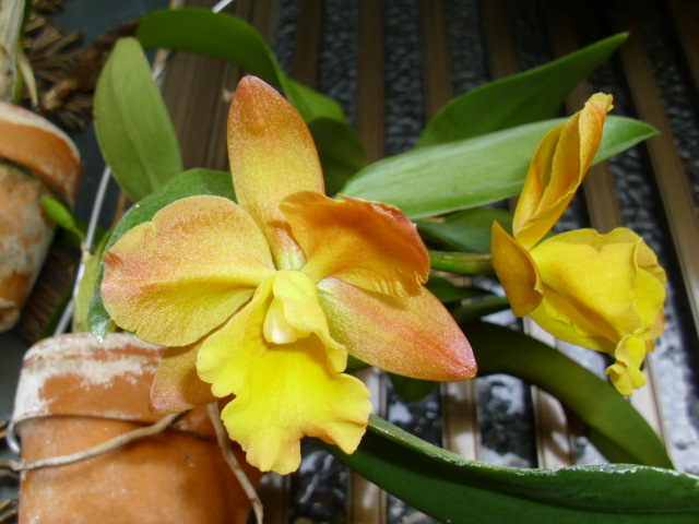 Pot. Memorial Gold 'Canary'