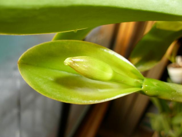Lc. Cariad's Mini-Quinee, seedling