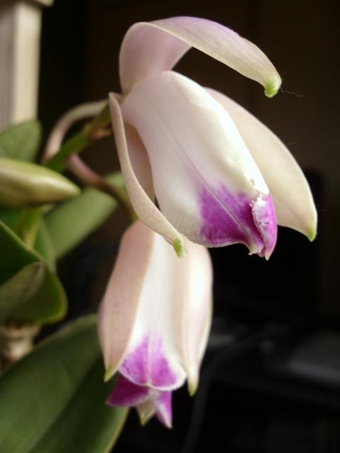 C. intermedia f. flamea