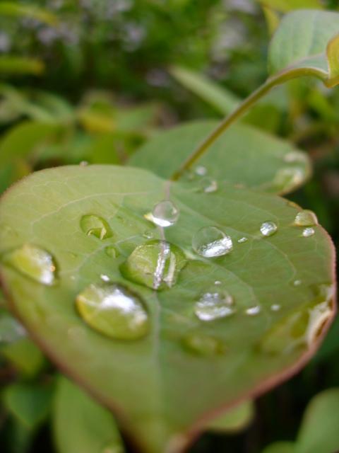 雨上りの庭のブルーベリーの葉
