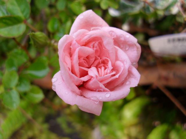雨上りに咲いた庭のミニバラ