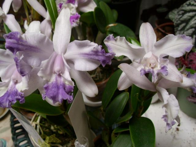 C. intermedia