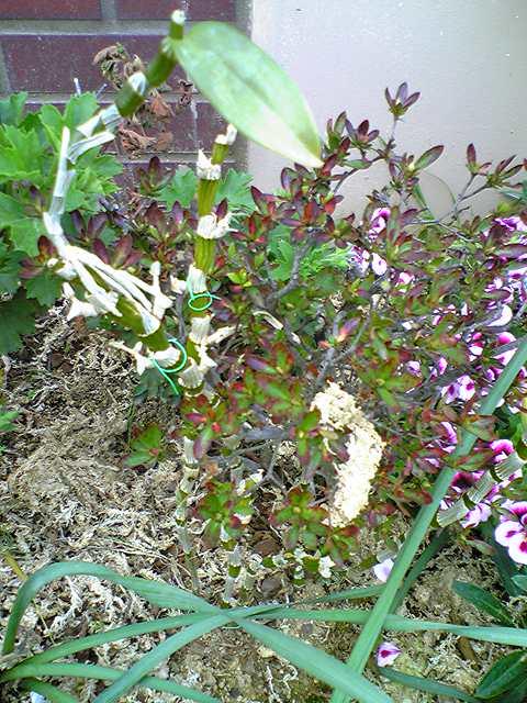 デンドロビウムのある庭