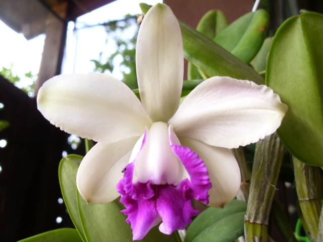 C. intermedia f. orlata 'Rio Grande'