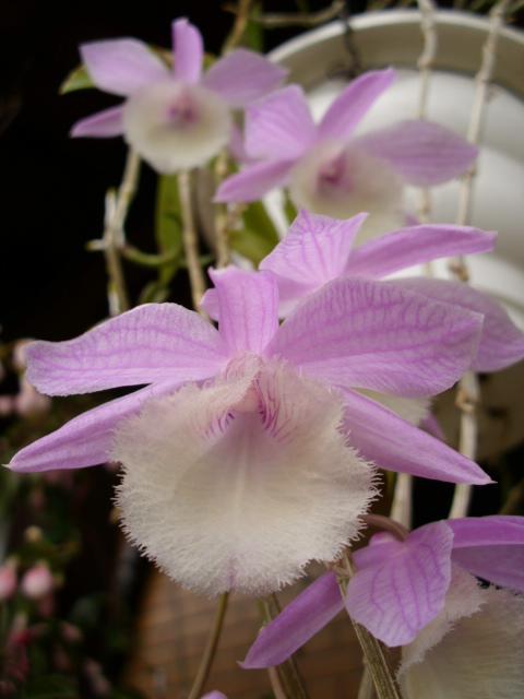Den. aphyllum