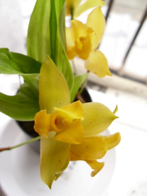 Lyc. aromatica