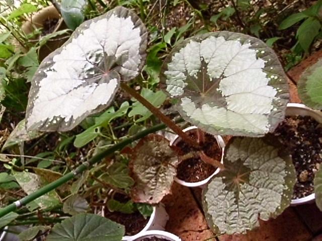 ベゴニア・タイ・レックス