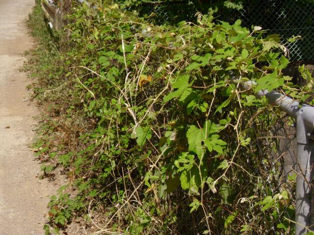 Vitis ficifolia var. lobata