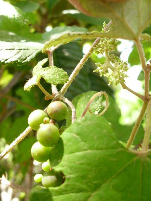 Vitis ficifolia var. sinuata
