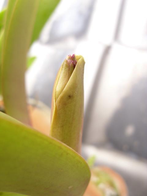 C. labiata f. rubra 'Schuller' x 'Ching Hua'