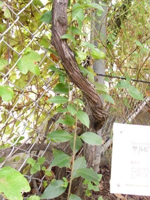 Vitis ficifolia var. lobata (2/7)