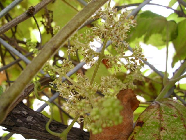 Vitis ficifolia var. lobata (3/7)