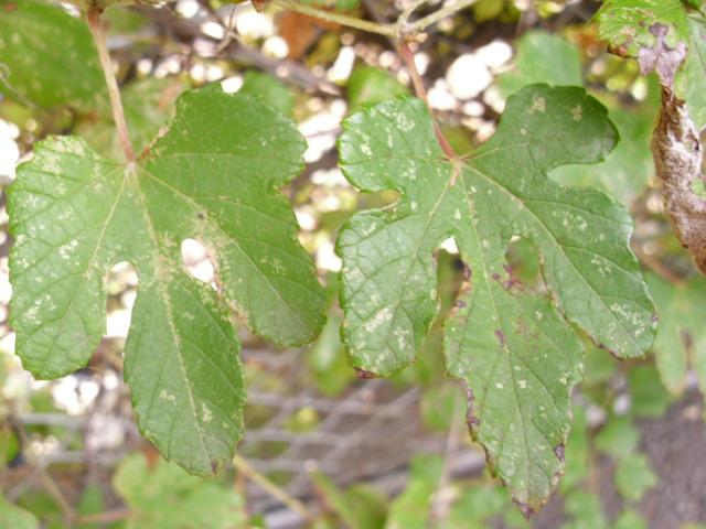 Vitis ficifolia var. lobata (5/7)