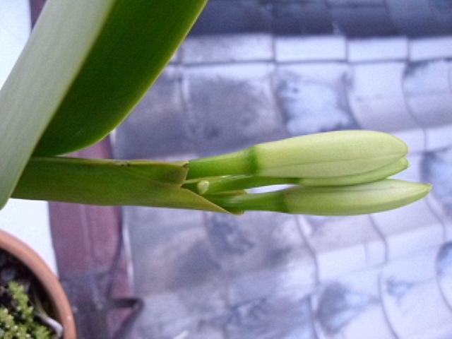 C. labiata f. s/a