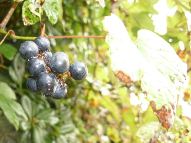 Vitis ficifolia var. lobata (1/2)