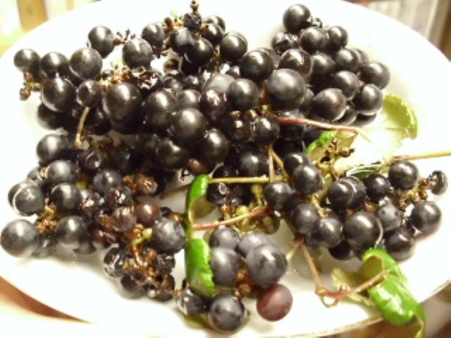 Vitis ficifolia var. lobata (2/2)