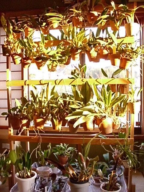 夕日を浴びる蘭の棚
