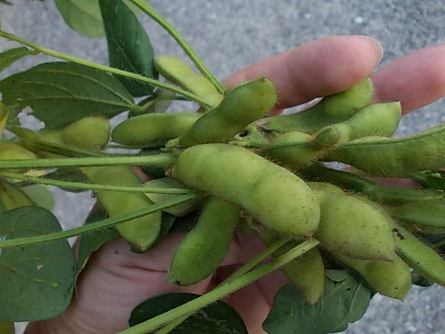 brownsoybean20120906