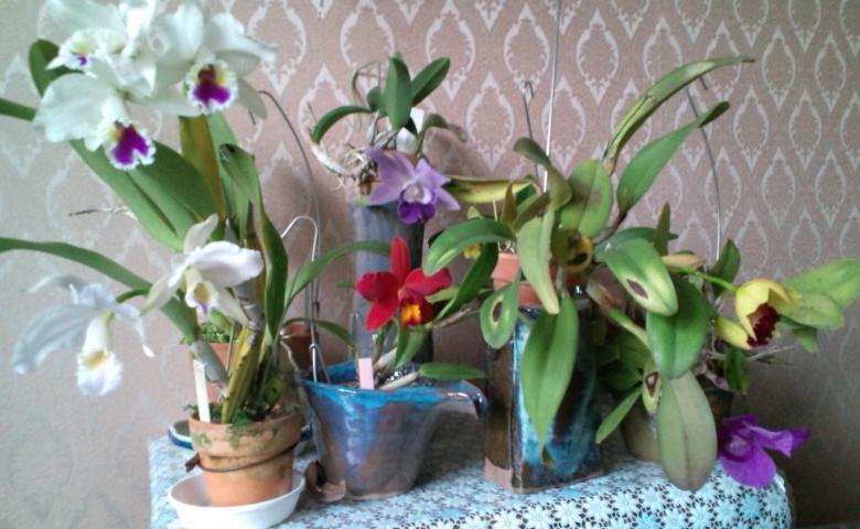 Cattleyas 20121030