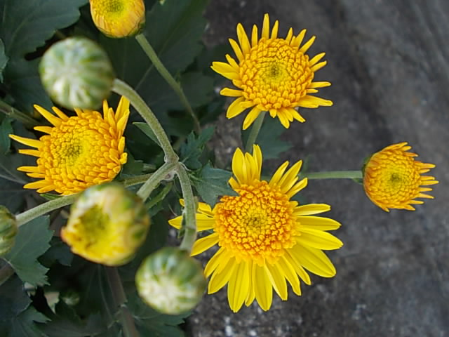 Chrysanthemum 20121112