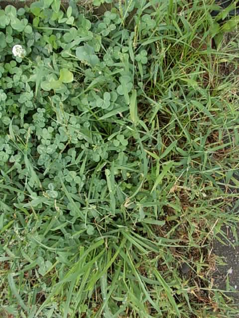 clover and weed 20120823
