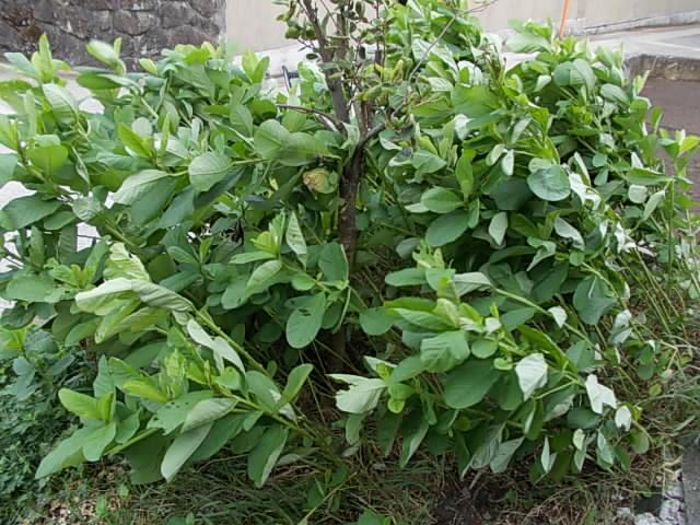 crotalaria20120917