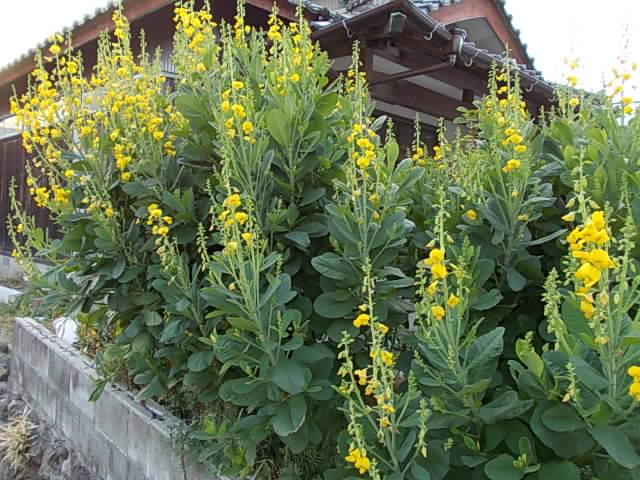 Crotalaria at home 20121014