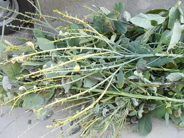 Crotalaria 20130112