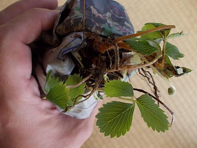 Fragaria iinumae 20121112