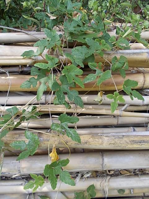 Vitis ficifolia var. sinuata 20121005