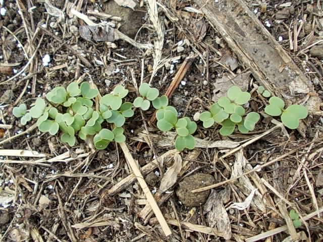 Komatsuna spinach 20121025