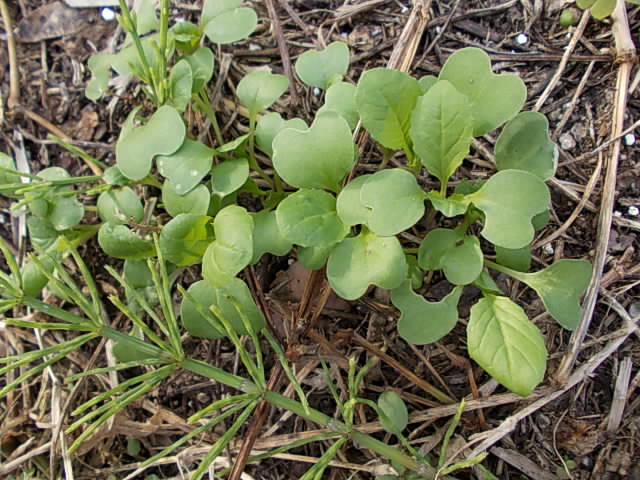 Komatsuna spinach 20121102