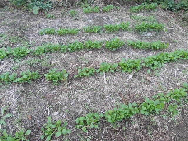 Komatsuna spinach 20121109