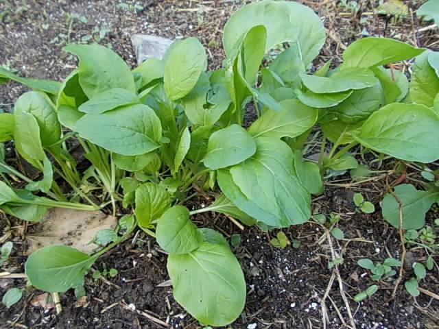 Komatsuna spinach 20121114