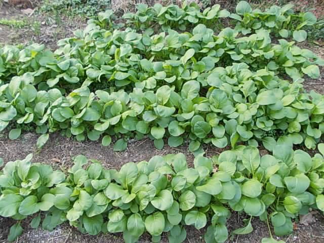 Komatsuna spinach 20121124