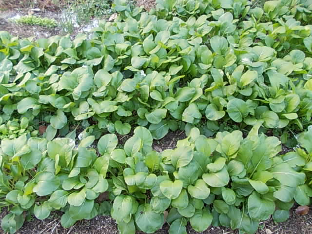 Komatsuna spinach 20121203