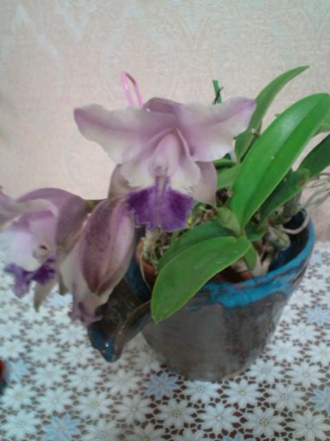 lccariadsminiquineecoerulea20120920