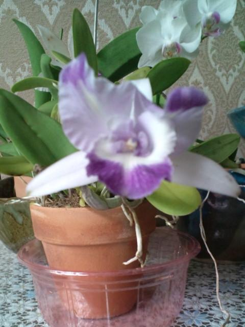 Lc. Cariad's Mini-Quinee seedling 20120908