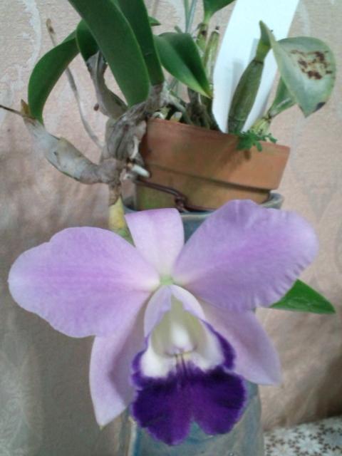 Lc. Mini Purple fma. coerulea 'Hitomi' 20121026