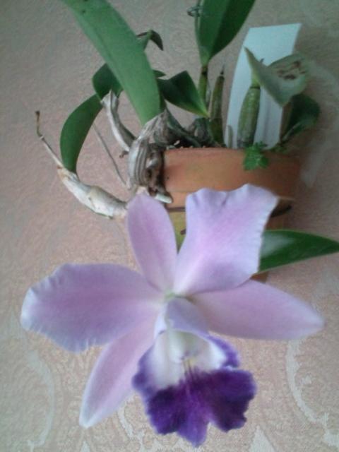 Lc. Mini Purple fma. coerulea 'Hitomi' 20121116