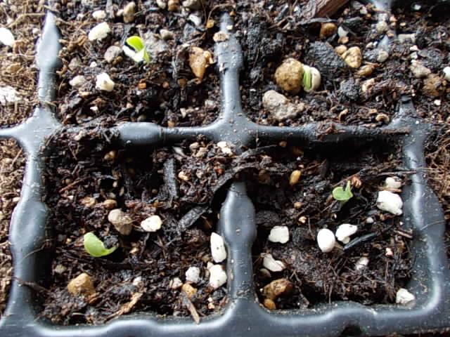 lettuce20120915