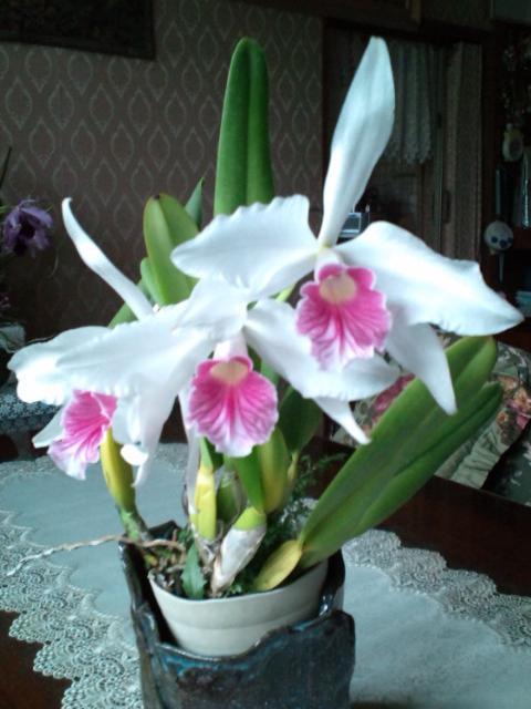 L. purpurata fma. carnea 20130620