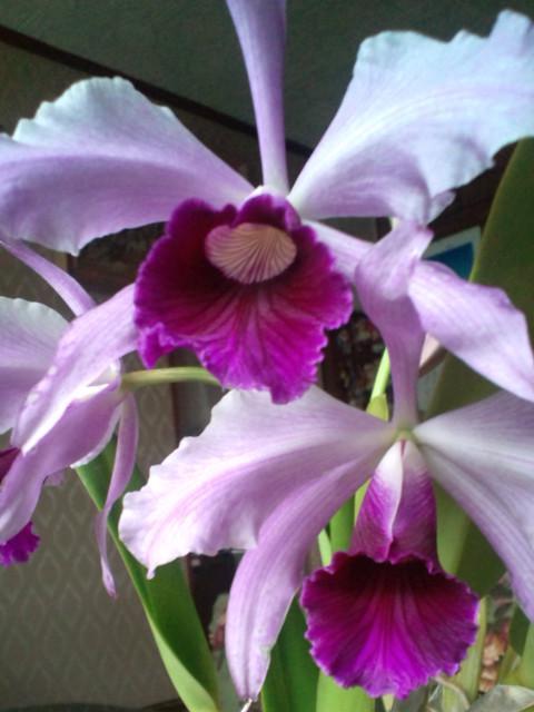L. purpurata fma. rubra 'Artemis' x tipo 'Torigono' 20130621