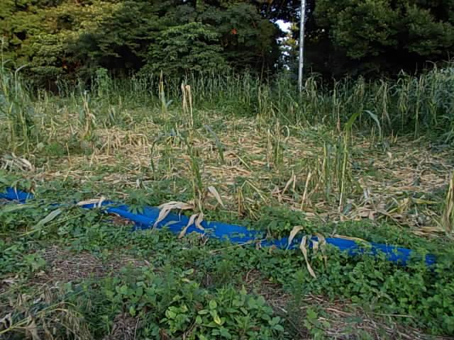 maize20120904