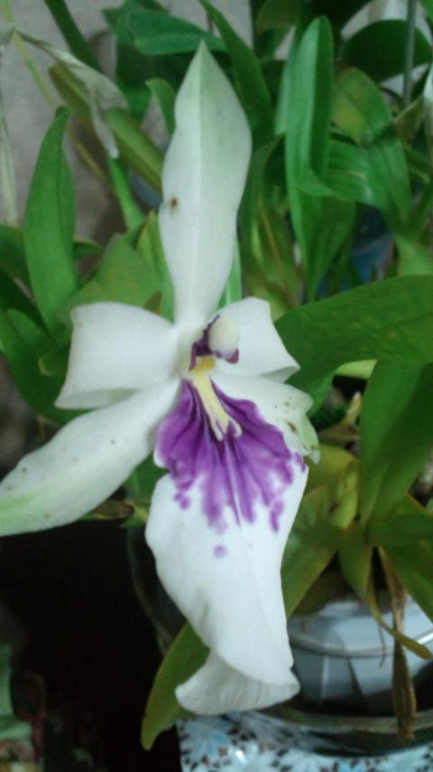 Milt. spectabilis var. s/a 20120906