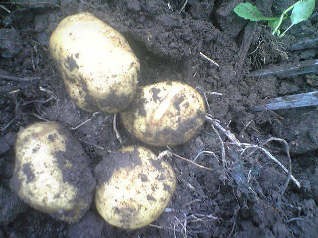 Potato 'Tokachi Kogane' 20130609